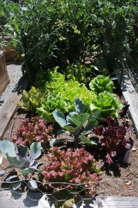 In one bed we have a mix of lettuces and some random kale and cabbage left over from the spring garden.