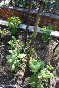 Beans are starting to grab onto the post and climb up. Baby pepper plants are there in the background.