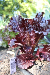 Here's one of the lettuce varieties.