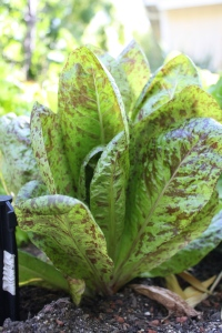 Here's another lettuce variety.