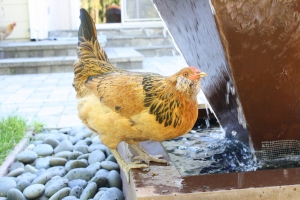 Peach is drinking from the fountain. She lays the light green eggs.