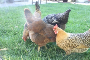 The hens forage through the grass.