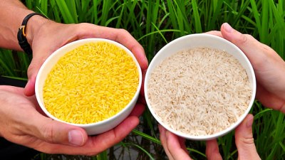 A side-by-side comparison of golden rice and a more typical rice variety.